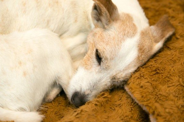 犬が糖尿病になった際の対処法