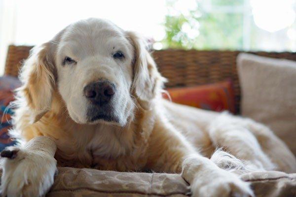 老犬の認知症