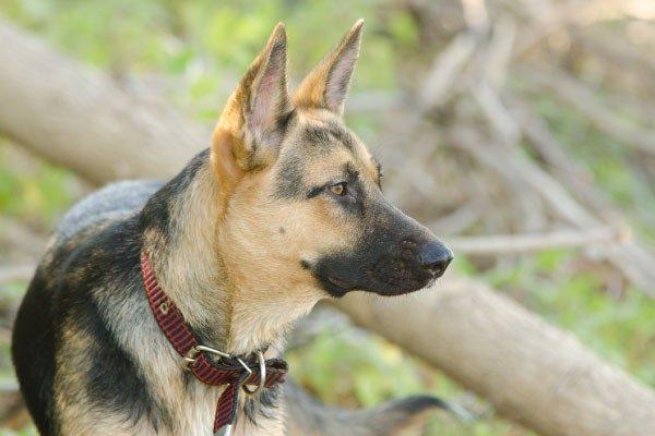 大型犬の躾に警察犬訓練所に預けるのは必要?