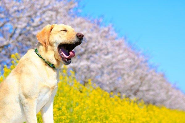 犬のあくびは退屈だから?眠いから?あくびは犬からのメッセージ