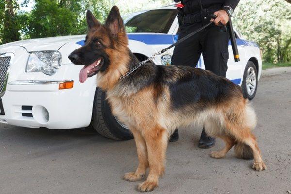 仕事をする犬をご紹介!人々の安全や生活をサポートしてくれる犬たち