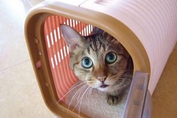 通院にも便利!キャリーバッグ大好き猫にしよう