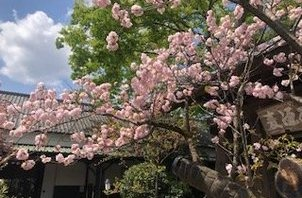 ☆福生ビール小屋の八重桜☆
